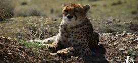 یوز ایرانی در خطر / تنها دو یوزپلنگ ماده در پایش های اخیر ثبت شده است!
